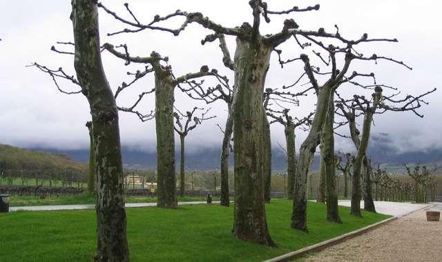 The otherworldly plane trees of Navarra (Photo by Sofia Perez)