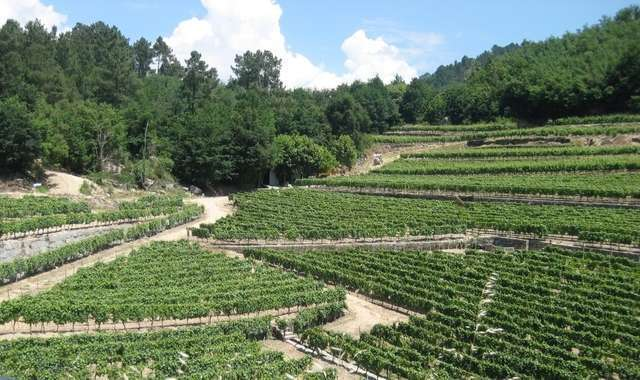 Vina Mein vineyard