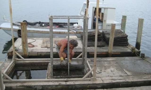 Greg LoVece, stacking oysters at the Blue Island farm